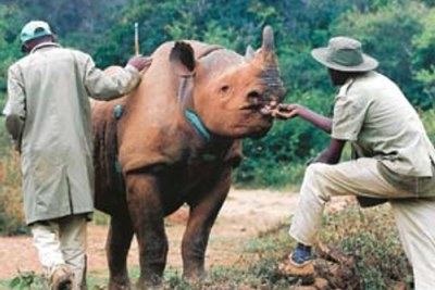 Animal handlers feed an orphaned black rhino.