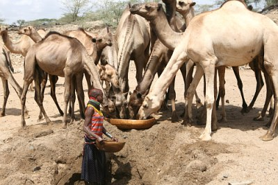 A Turkana girl waters camels from a hole dug in a dry river bed near Kenya's border with Uganda. Increasing drought has obliged pastoralists to travel further in their search for pasture and water. This often brings them into conflict with rival pastoralist communities.