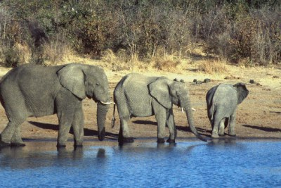 Elephants drinking water.