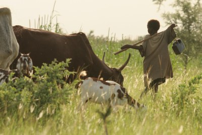 Fulani boy herds his family's animals.