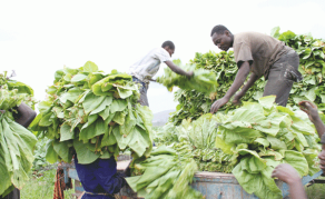 'Black Tobacco Farmers Producing More Than Whites'
