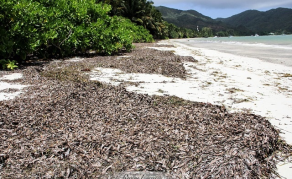 Turning Seaweed Into Green Gold in Seychelles