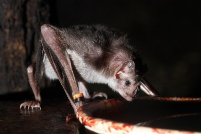Vampire bat drinking blood.