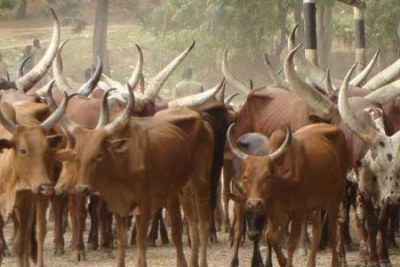 Authorities have seized more than 10,000 head of cattle that had strayed into Tanzania from Uganda and Rwanda.