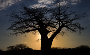 Icon of Africa's Savannah, the Baobab is Dying