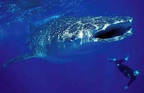 Swim With Whale Sharks in Guinjata Bay