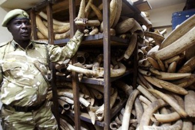 A Kenya Wildlife Services ranger shows elephant tusks intercepted from poachers. Kenya remains opposed to the lifting of the international ivory trade ban.