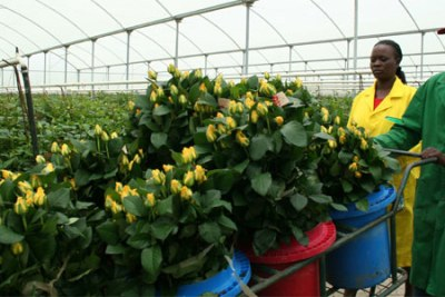 Workers pack roses for export at a flower farm in Naivasha, Kenya.