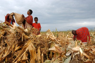 Almost eight million households depend directly on agriculture in Kenya.