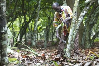 A farmer carefully prunes a cocoa tree.