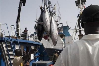 Yellowfin tuna from the Spanish purse seiner 'Iribar Zulaika' is offloaded in the industrial fishing port of Dakar.