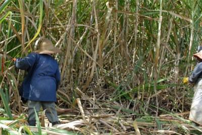 Des ouvriers dans une plantation de canne à sucre en Ile Maurice.