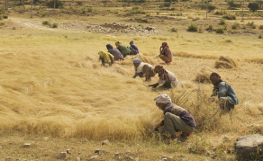 Ethiopia's Staple Crop Needs a Big Push