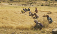 Ethiopia Gets Its Teff Back After Long-Running Legal Battle