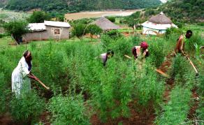 L'Afrique du Sud légalise la consommation de cannabis