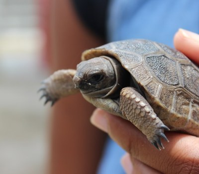 Dismay Over Loss of Baby Giant Tortoises - Seychelles Park