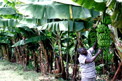 David Mutiso, a farmer in Mwala in Eastern Kenya tending to his bananas. It's farmers like Mutiso and the Weiteithye Farmers Group in Mwala, Eastern Kenya which comprises about 100 small-scale farmers, that are set to benefit from the US $30 billion pledged by major development institutions, the private sector and African leaders at the African Green Revolution Forum (AGRF) in Nairobi, Kenya.