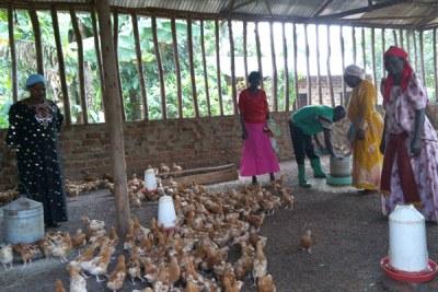 A women's chicken rearing enterprise.