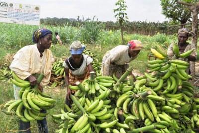 Le Cameroun premier producteur de banane
