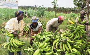 Le Cameroun devient premier producteur de banane en zone ACP