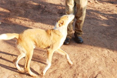 Jane Nansamba, a livestock farmer in Masaka District, says stray dogs have killed five of her goats in the last four months.