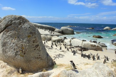 Penguin Colony at Boulders Beach in Cape Town, South Africa.