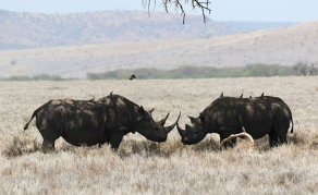 What China's Rhino Horn Trade Means for Africa's Wildlife