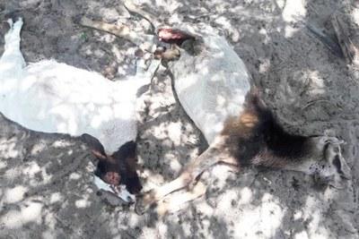 Dead goats.