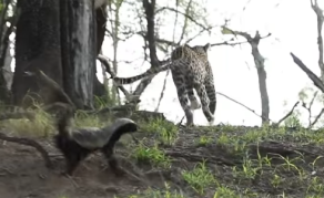 WATCH - Mother Honey Badger Defends Her Cub From Leopard