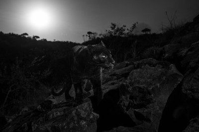 On the night of the full moon, the black leopard reappeared.