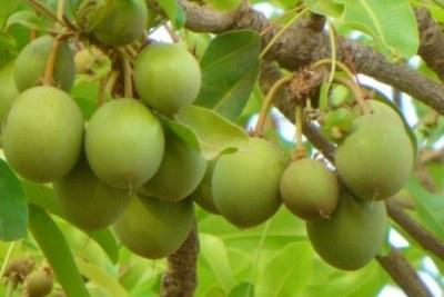 Le karité produit en Côte d'Ivoire