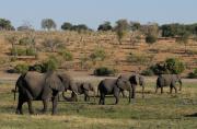 Le Botswana autorise la chasse aux éléphants