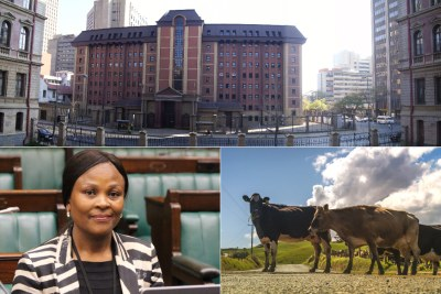 Top: Pretoria High Court. Bottom-left: Public Protector Busisiwe Mkhwebane. Bottom-right: Cows.