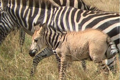The golden-coloured baby zebra, spotted in the Maasai Mara on Wednesday October 9, 2019, just three weeks after a polka-dotted foal was spotted in the same reserve.