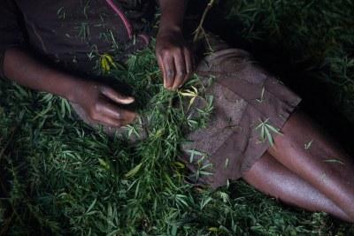 (Photo d'archives) - Une femme travaillant le cannabis issu d'une exploitation villageoise en Afrique.