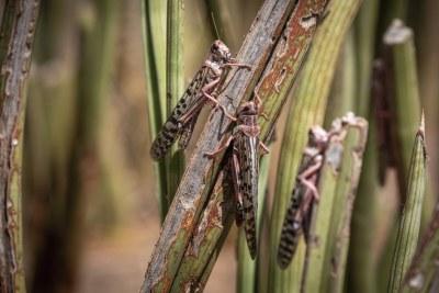 Kipsing, près d'Oldonyiro, comté d'Isiolo, Kenya - Les criquets pèlerins se nourrissent de la végétation locale.