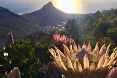 The fynbos region has seen the second worst number of plant extinctions in the world.