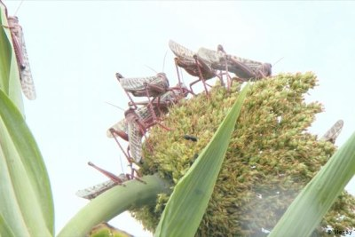 Adult locusts can eat three times their own body-weight per day and travel hundreds of kilometres.