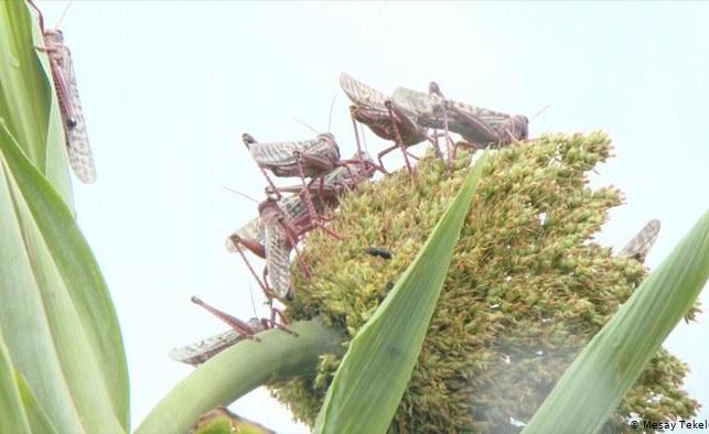 Zimbabwe: Govt Acts On Locust Outbreak