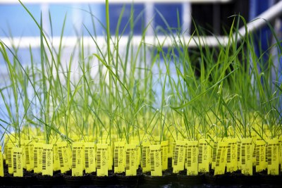Each genetically modified rice plant in the greenhouses has a barcode and transponder, allowing it to be accurately identified at any time (file photo).